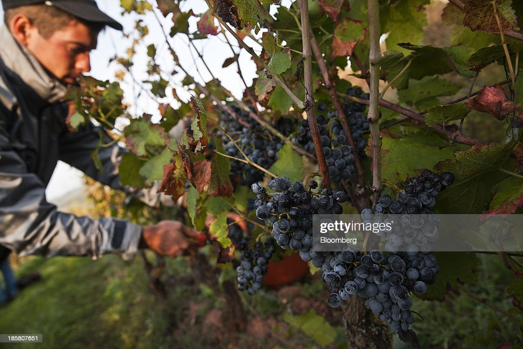 A fruit picker harvests fer servadou grapes from a vine at Jean-Luc Matha's vineyard in Clairvaux, France, on Thursday, Oct. 24, 2013. France's stocks of wine fell to the lowest in at least 12 years after the country's production plunged 19 percent last year, crop office FranceAgriMer said. Photographer: Balint Porneczi/Bloomberg via Getty Images