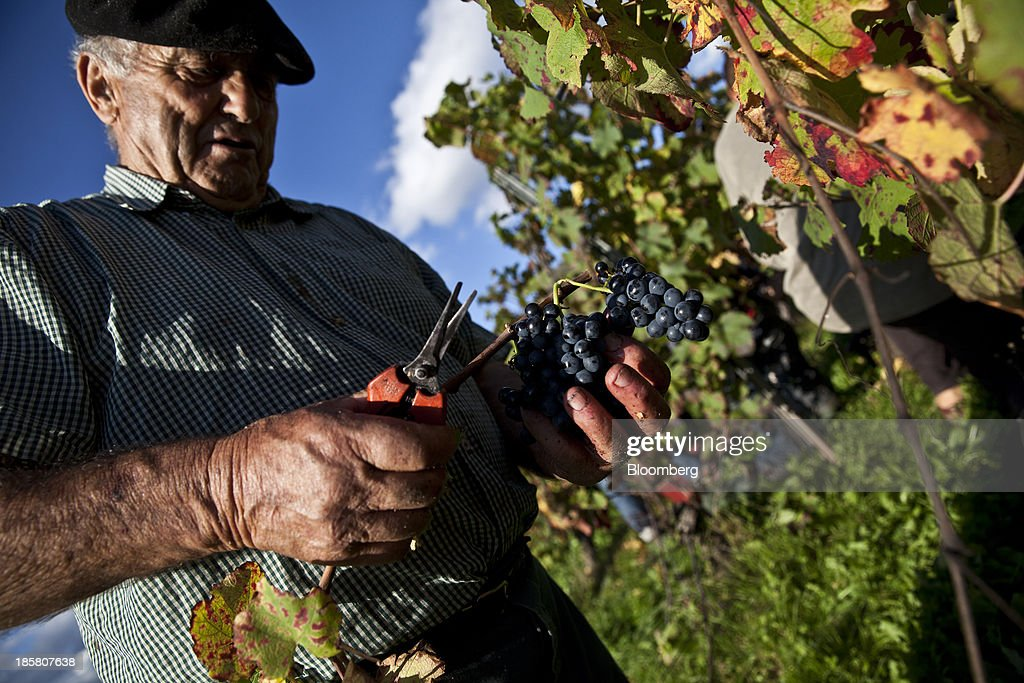 A fruit picker holds a bunch of fer servadou grapes during the harvest at Jean-Luc Matha's vineyard in Clairvaux, France, on Wednesday, Oct. 23, 2013. France's stocks of wine fell to the lowest in at least 12 years after the country's production plunged 19 percent last year, crop office FranceAgriMer said. Photographer: Balint Porneczi/Bloomberg via Getty Images