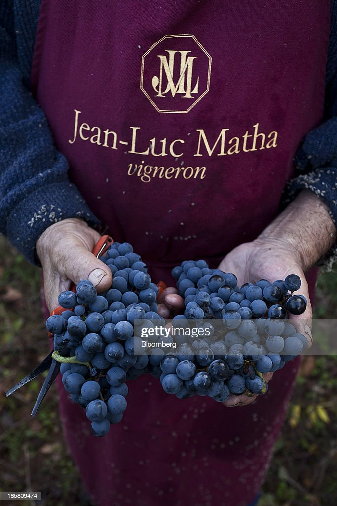 A fruit picker holds bunches of fer servadou grapes during the harvest at Jean-Luc Matha's vineyard in Clairvaux, France, on Thursday, Oct. 24, 2013. France's stocks of wine fell to the lowest in at least 12 years after the country's production plunged 19 percent last year, crop office FranceAgriMer said. Photographer: Balint Porneczi/Bloomberg via Getty Images