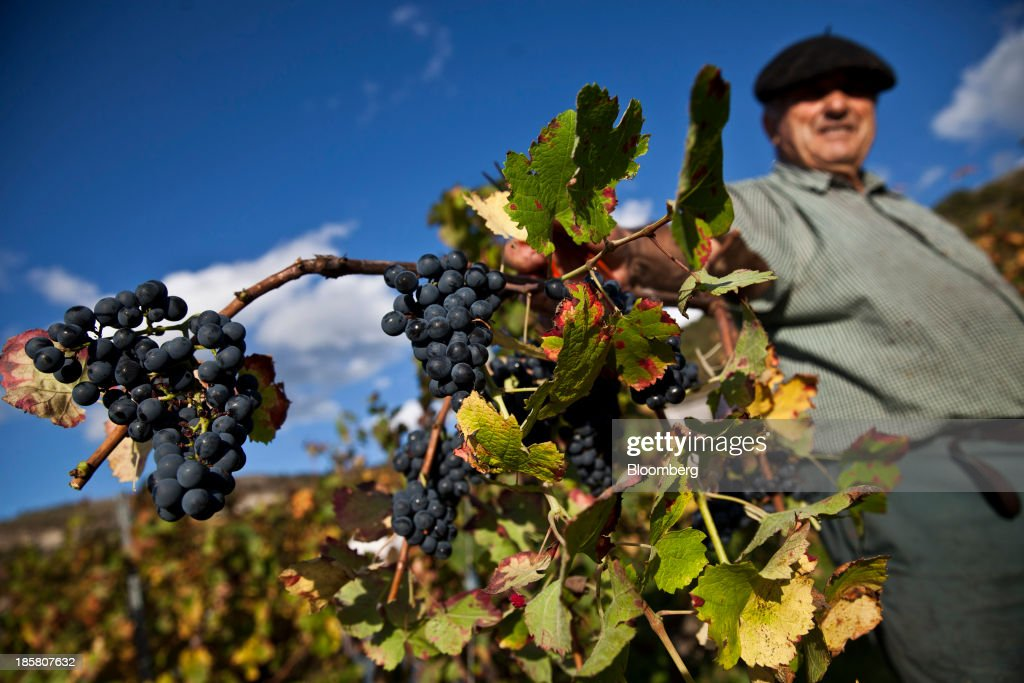 A fruit picker poses for a photograph while holding a vine of fer servadou grapes during the harvest at Jean-Luc Matha's vineyard in Clairvaux, France, on Wednesday, Oct. 23, 2013. France's stocks of wine fell to the lowest in at least 12 years after the country's production plunged 19 percent last year, crop office FranceAgriMer said. Photographer: Balint Porneczi/Bloomberg via Getty Images