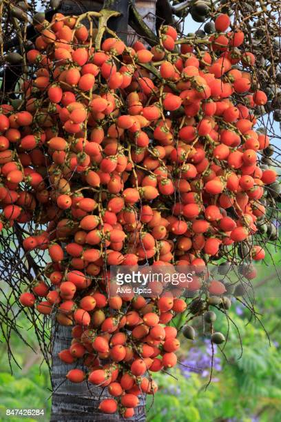 Fruit seeds of foxtail palm in Hawaii