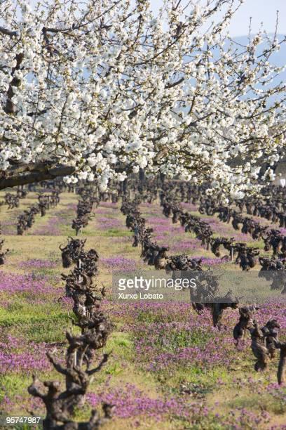 A fruit tree surrounded by vines in spring in Bierzo Castilla y Leon region 20th March 2009