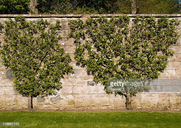 Fruit trees pruned to lie flat against a wall