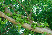 Fruiting fig tree in nature, Cluster fig tree, thailand fig tree or fig,figs fruit tree.