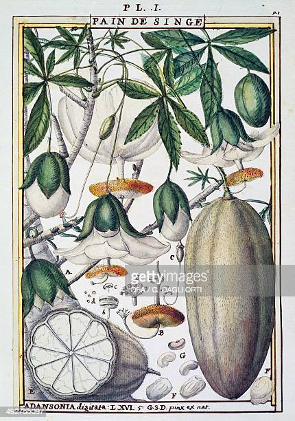 Fruits and flowers of the baobab tree illustration by Delahaye from Florindie ou Historie physicoeconomique des Vegetaux de la Torride 1789 France...