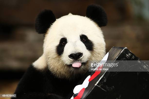 Fu Ni the giant panda is treated to specially prepared panda treats for her birthday at the Adelaide Zoo on August 23 2015 in Adelaide Australia Fu...