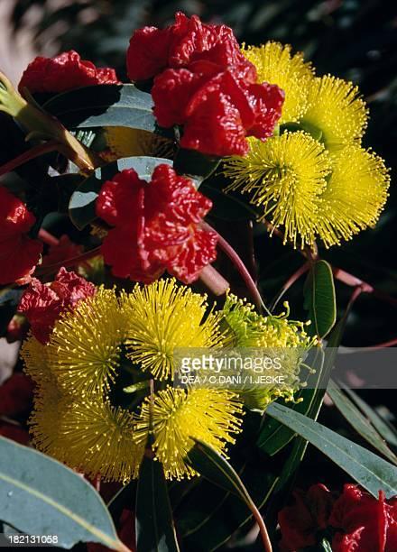 Fuchsia gum Forrest's mallee or Forrest's marlock Myrtaceae Western Australia