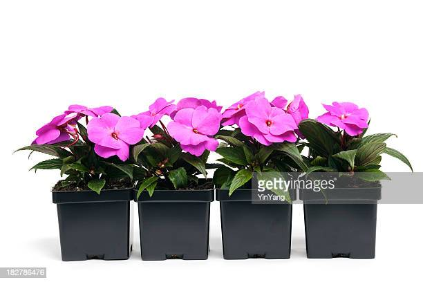 Fuchsia New Guinea Impatiens in Retail Plastic Containers, White Background