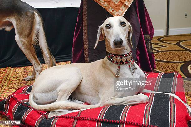 Fugar the Saluki attends the AKC Meet The Breeds Sneak Peek at the New York Marriott East Side Hotel on September 26 2013 in New York City