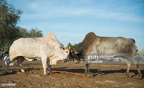 Fujairah Bull fight