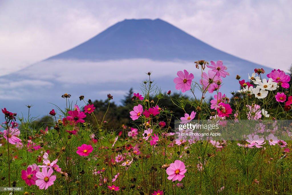 Fuji and cosmos