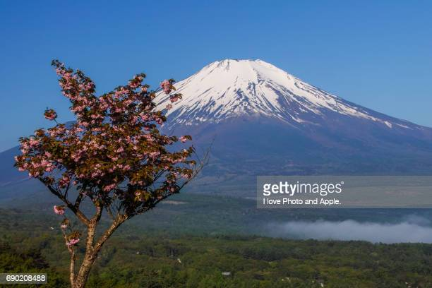 Fuji and double cherry blossom