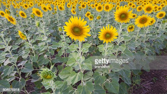 Full bloom sunflower field : Stockfoto