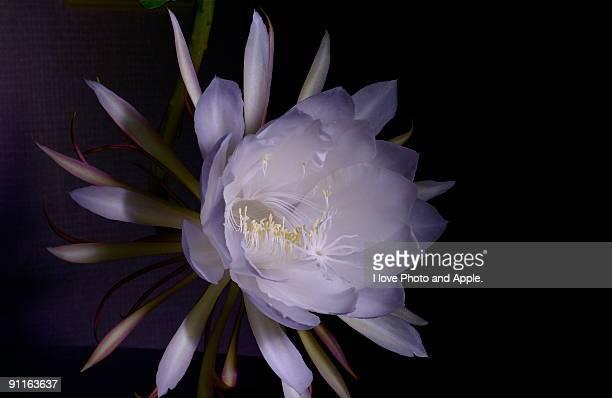 Full bloomed beauty