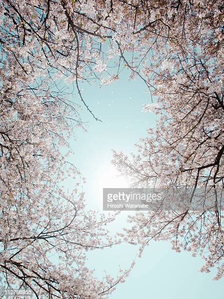 Full blooming cherry tree,low angle view