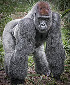 Full body image of a Gorilla