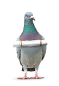 full body of pigeon bird and paper letter message hanging on breast for communication theme