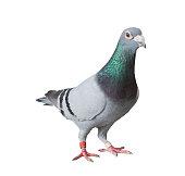 Pigeon Voyageur Photos Et Illustrations Images Libres De Droits