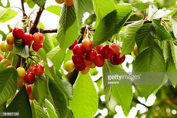 full cherry branch