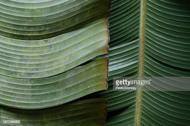 Full Frame Banana Palm Fronds