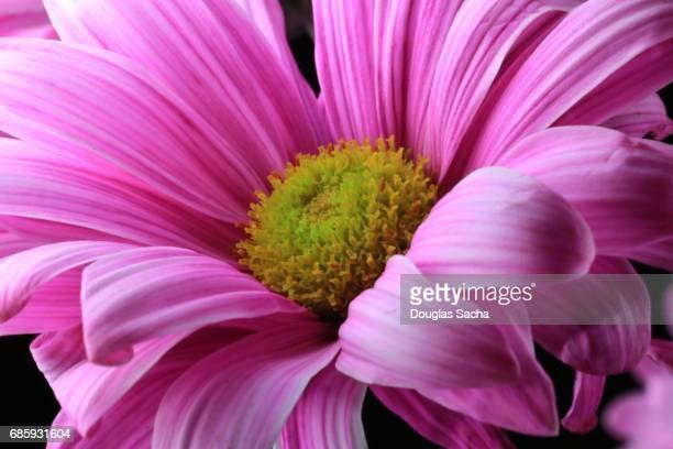 Full frame of a Gerber daisy (Gerbera)