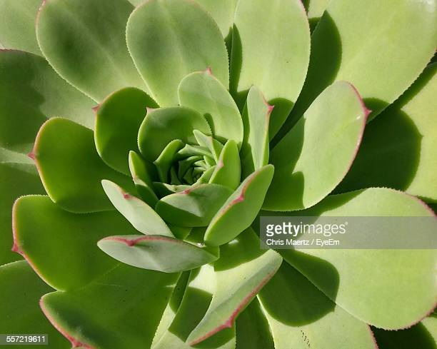Full Frame Of Green Succulent Plant