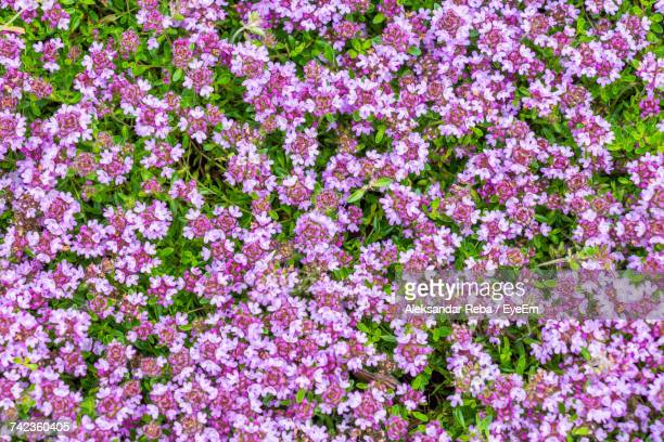 Full Frame Of Pink Flowers Blooming At Park