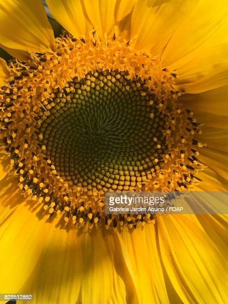 Full frame of sunflower