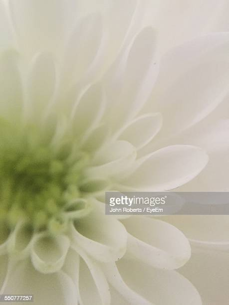 Full Frame Of White Dahlia Flower