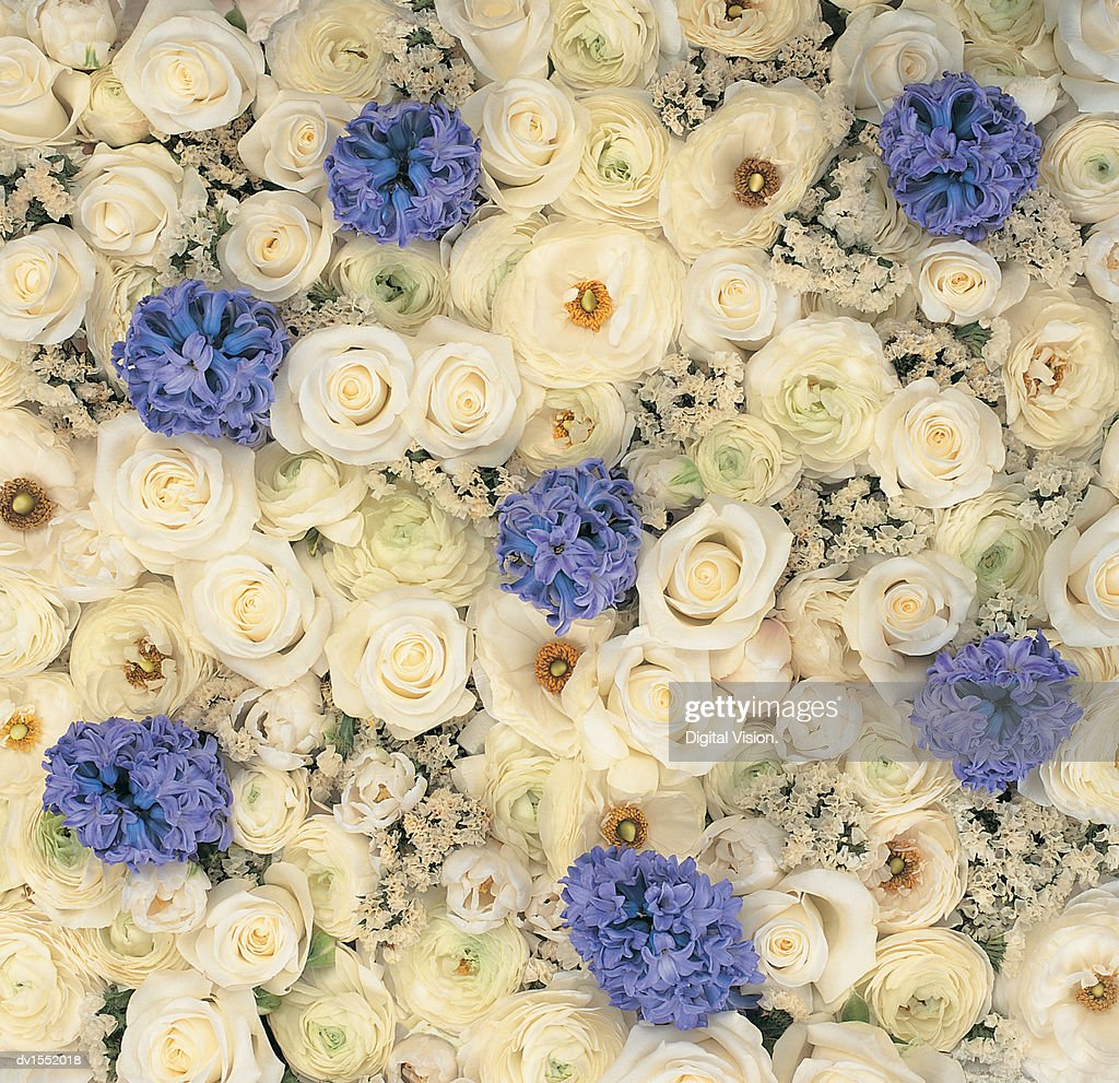 Full Frame of White Roses and Blue Hyacinths Viewed From Directly Above : Stock Photo