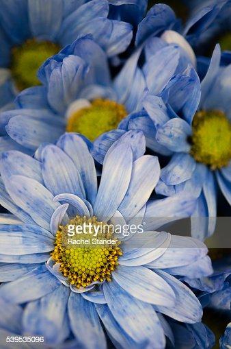 Full Frame Shot of Blue Gerbera Daisies