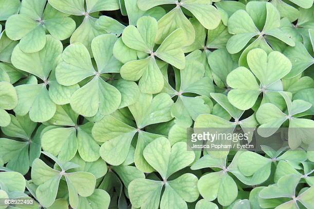 Full Frame Shot Of Clover Leaves