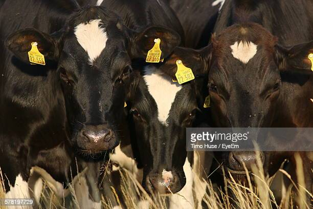 Full Frame Shot Of Cows Standing Together Outdoors