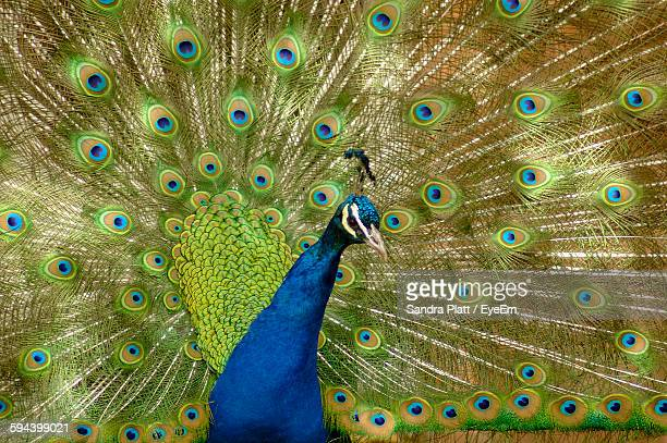Full Frame Shot Of Dancing Peacock In Zoo