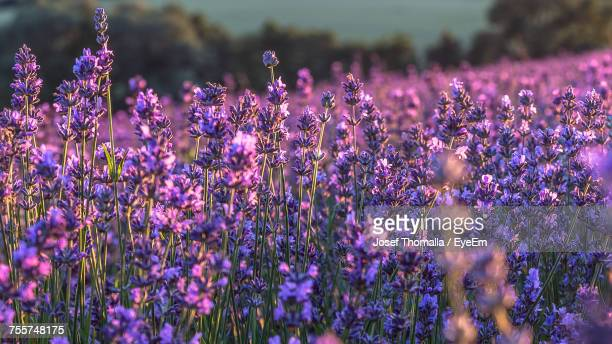Full Frame Shot Of Lavender Growing On Field During Sunset