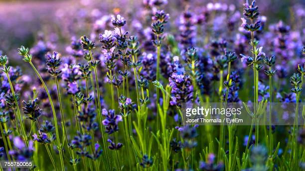 Full Frame Shot Of Lavender Growing On Field