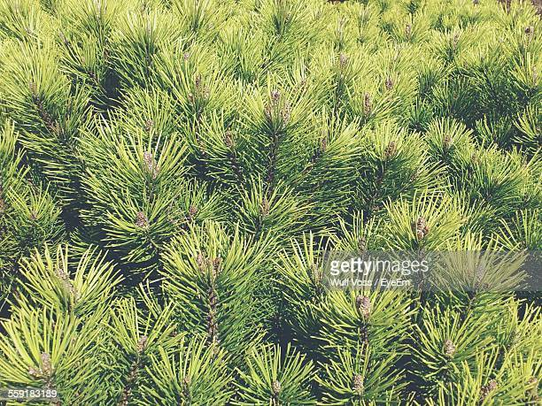 Full Frame Shot Of Pine Trees In Forest