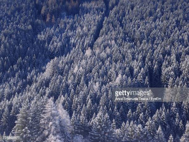 Full Frame Shot Of Pine Trees