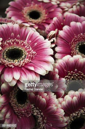 Full Frame Shot of Pink Gerbera Daisies