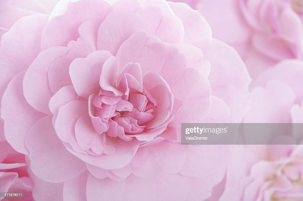 Soft pink pastel rose in bouquet : Stock Photo