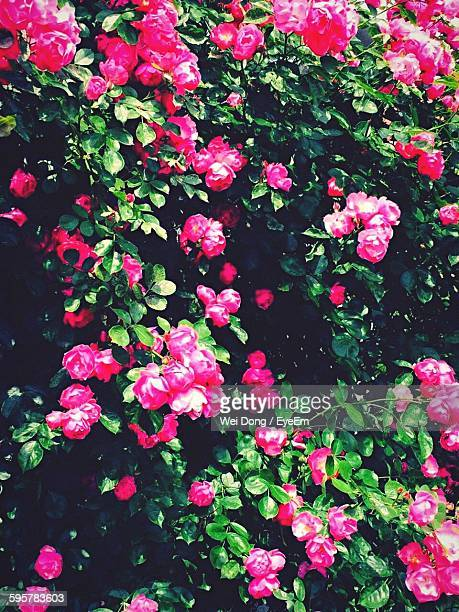 Full Frame Shot Of Pink Roses Blooming On Plant