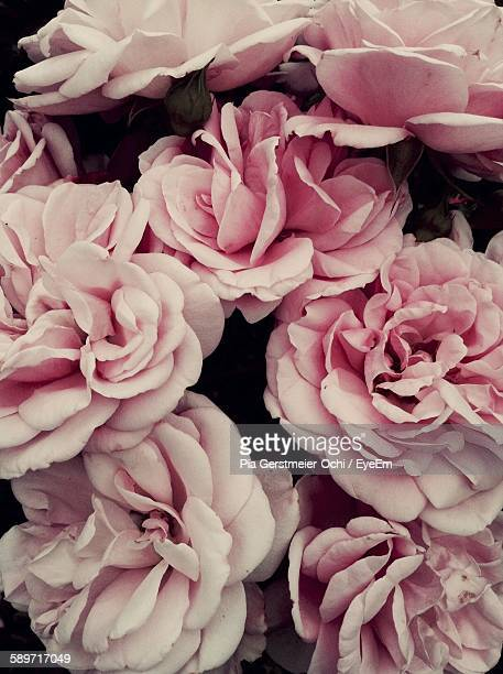 Full Frame Shot Of Pink Roses Blooming Outdoors