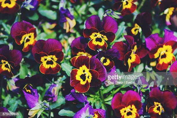 Full Frame Shot Of Purple And Yellow Pansies Blooming At Park
