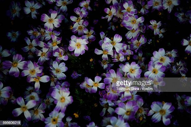 Full Frame Shot Of Purple Flowers Blooming On Field At Night