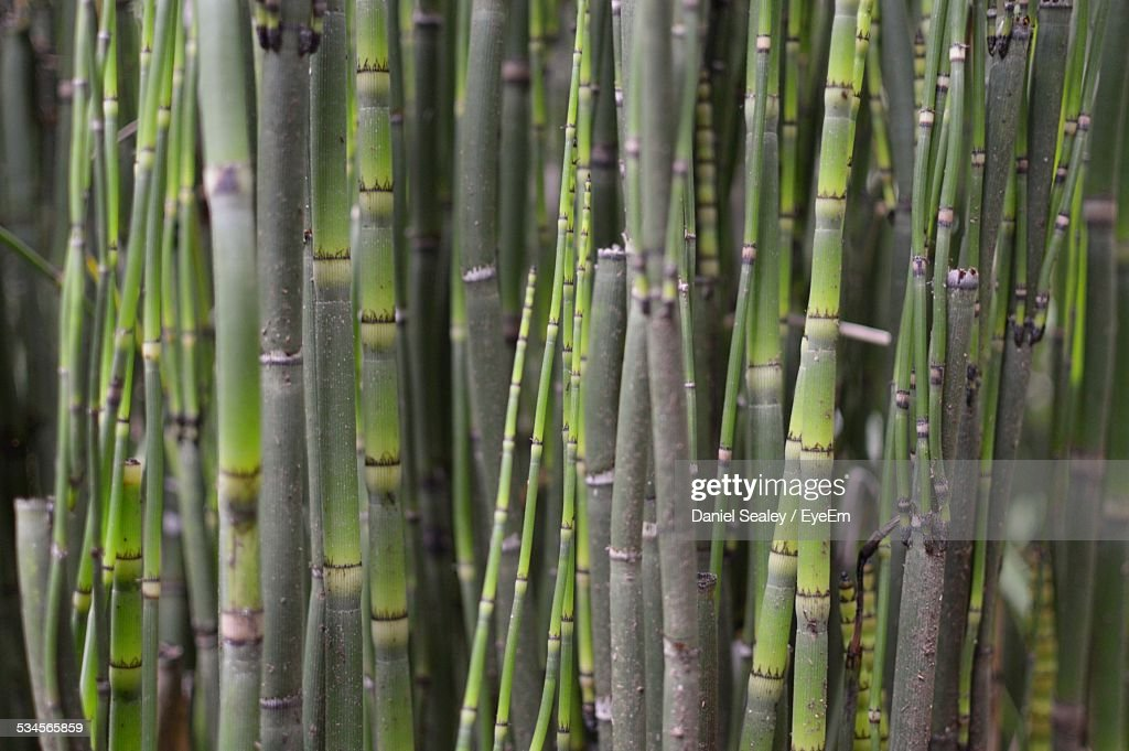 Full Frame Shot Of Sugar Cane