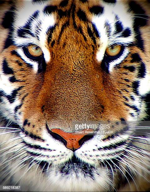 Full Frame Shot Of Tiger
