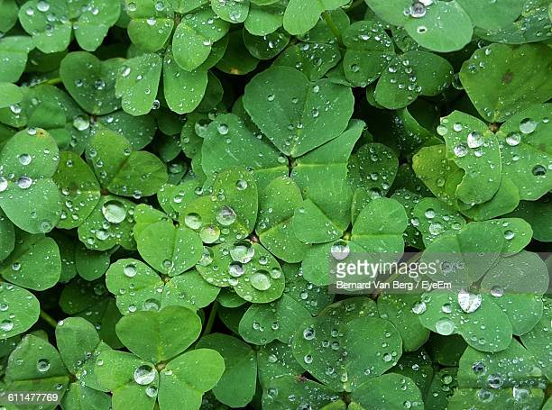 Full Frame Shot Of Water Drops On Clover Leaves