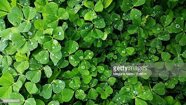 Full Frame Shot Of Wet Clovers