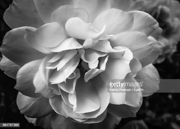 Full Frame Shot Of White Peony Flowers