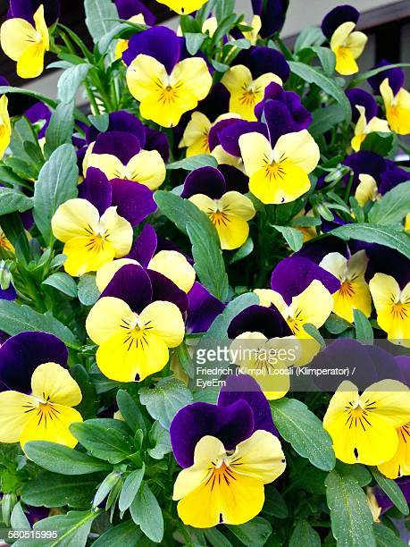 Full Frame Shot Of Yellow And Purple Pansy Blooming Outdoors